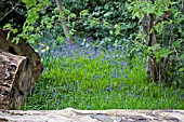 HYACINTHOIDES NON SCRIPTA,  BLUEBELLS AND LOGS,  MAY
