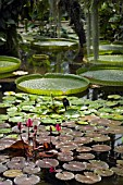 NYMPHAEA (LILY) POND IN PRINCESS OF WALES CONSERVATORY,  KEW GARDENS