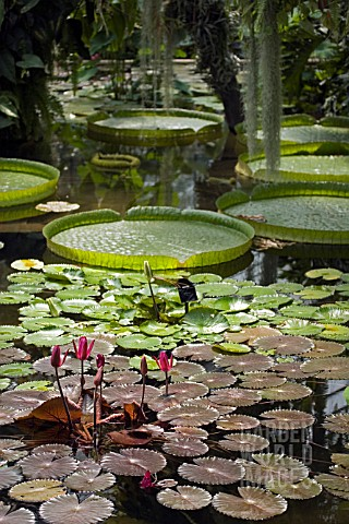 NYMPHAEA_LILY_POND_IN_PRINCESS_OF_WALES_CONSERVATORY__KEW_GARDENS