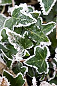 HEDERA HELIX,  IVY LEAVES IN FROST