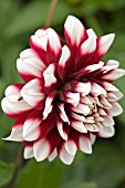 WATERLILY DAHLIA,  AUGUST