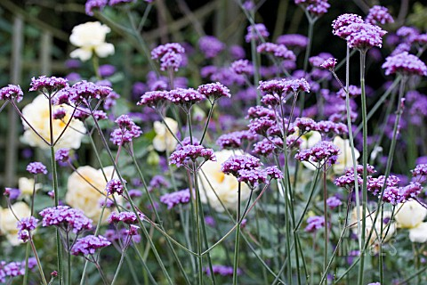 VERBENA_BONARIENSIS_AND_YELLOW_ROSES