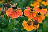HELENIUM SEPTEMBERFUCHS WITH BUTTERFLY