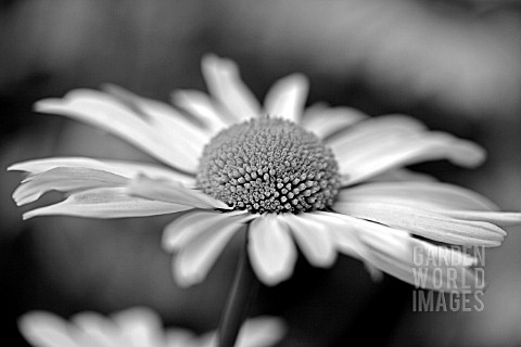 BLACK_AND_WHITE_MARGUERITE
