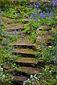 MOSSY STEPS AND HYACINTHOIDES NON SCRIPTA,  ENGLISH BLUEBELLS