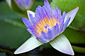 NYMPHAEA CAPENSIS,  WATER LILY FLOWER