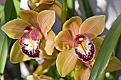 CYMBIDIUM STRATHMORE RAINBOW CHAILEY DELIGHT
