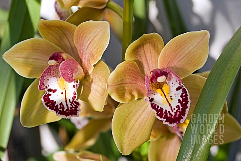 CYMBIDIUM_STRATHMORE_RAINBOW_CHAILEY_DELIGHT_