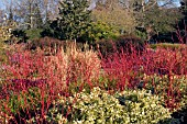 CORNUS ALBA SIBIRICA IN WINTER BORDER