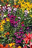 ERYSIMUM,  WALLFLOWERS AND TULIPS IN ASSOCIATION