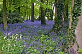 HYACINTHOIDES NON SCRIPTA,  ENGLISH BLUEBELL WOOD AT RENISHAW HALL GARDENS,  DERBYSHIRE,  MAY