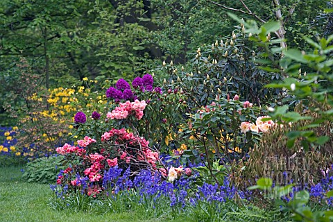 RHODODENDRONS_AND_HYACINTHOIDES_NON_SCRIPTA_IN_MIXED_SPRING_BORDER
