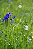 TARAXACUM OFFICINALE WITH HYACINTHOIDES NON SCRIPTA,  ENGLISH BLUEBELLS AND DANDELION CLOCK