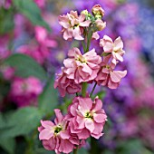 MATTHIOLA BICORNIS,  NIGHT SCENTED STOCKS,  MAY