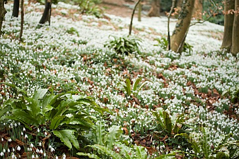 FERNS_AND_GALANTHUS__SNOWDROP_WOOD_AT_PAINSWICK_ROCOCCO_GARDEN