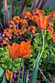 TULIPS IN MIXED SPRING BORDER