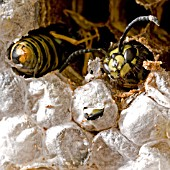 WASPS EMERGING FROM WASP CAKE