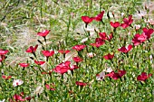 LINUM GRANDIFLORUM   CHARMER MIXED,  RED FLAX,  AND STIPA IN ASSOCIATION