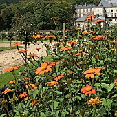 MANIPULATED TITHONIA ROTUNDIFOLIA TORCH AT THE GARDEN OF THE CHATEAU OF LA ROCHE GUYON