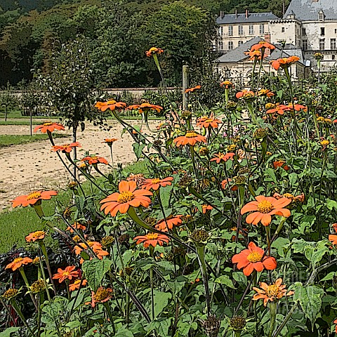 MANIPULATED_TITHONIA_ROTUNDIFOLIA_TORCH_AT_THE_GARDEN_OF_THE_CHATEAU_OF_LA_ROCHE_GUYON