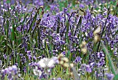 HYACINTHOIDES NON-SCRIPTA, ENGLISH BLUEBELLS, MANIPULATED, PANORAMIC