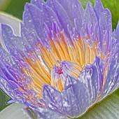 NYMPHAEA CAPENSIS, WATER LILY, MANIPULATED