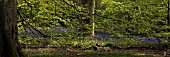 HYACINTHOIDES NON-SCRIPTA, ENGLISH BLUEBELL WOOD, PANORAMIC
