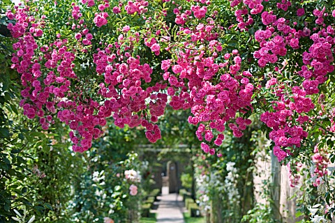 MINIHAHA_CLIMBING_ROSE_AT_DAVID_AUSTIN_ROSES_ALBRIGHTON_WOLVERHAMPTON_JULY