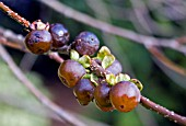 DIOSPYROS LOTUS, (DATE PLUM FRUIT)