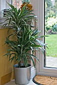 DRACAENA MARGINATA, DRAGON TREE