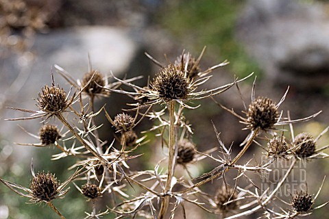 ERYNGIUM_X_TRIPARTITUM__SEA_HOLLY_SEED_HEADS