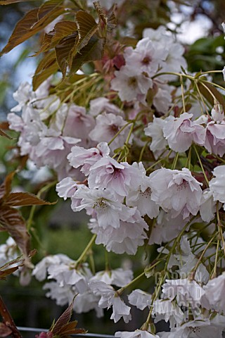 PRUNUS_FRAGRANT_CLOUD