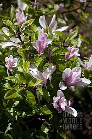 jly5776 magnolia stellata 39 george henry kern 39 asset. Black Bedroom Furniture Sets. Home Design Ideas