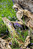 HYACINTHOIDES NON SCRIPTA,  ENGLISH BLUEBELLS,  WITH DEAD TREE TRUNK