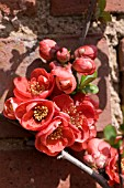 CHAENOMELES X SUPERBA,  FLOWERING QUINCE
