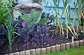 VEGETABLE GROWING IN SMALL SPACES IN SUBURBAN GARDEN - PURPLE KALE