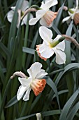 NARCISSUS MRS OSCAR RONALD