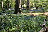 BLUEBELL WOOD AT WINTERBOURNE BOTANICAL GARDEN