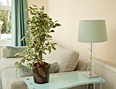 FICUS BENJAMINA IN MODERN HOME