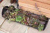 SEMPERVIVUMS IN OLD ANIMAL FEEDING TROUGH USED AS A PLANTER