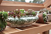 SEMPERVIVUMS IN OLD POTTERY USED AS A PLANTER, IN A GREENHOUSE