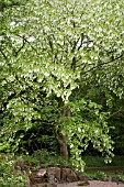 DAVIDIA INVOLUCRATA,  HANDKERCHIEF TREE AT WINTERBOURNE BOTANICAL GARDENS,  BIRMINGHAM UNIVERSITY,  MAY