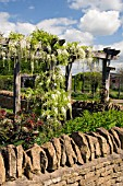WISTERIA FLORIBUNDA ALBA ON WOODEN PERGOLA AT RYTON ORGANIC GARDEN,  COVENTRY,  MAY