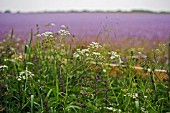 ANTHRISCUS SYLVESTRIS,  COW PARSLEY AND FIELD OF PURPLE PHACELIA TANACETIFLIA,  LACY PHACELIA,  JUNE