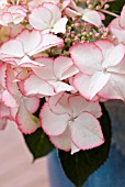 HYDRANGEA MACROPHYLLA, LOVE YOU KISS, IN CONTAINER