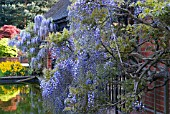 WISTERIA FLORIBUNDA GROWING OVER THE LOGGIA AT RHS WISLEY