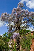 WISTERIA FLORIBUNDA DOMINO GROWING UP WOODEN PILLAR RHS  WISLEY