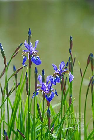 IRIS_SIBIRICA_HEAVENLY_BLUE