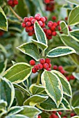 ILEX ALTACLERENSIS GOLDEN KING