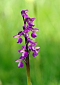 ORCHIS MORIO GREEN WINGED ORCHID GREEN VEINED ORCHID